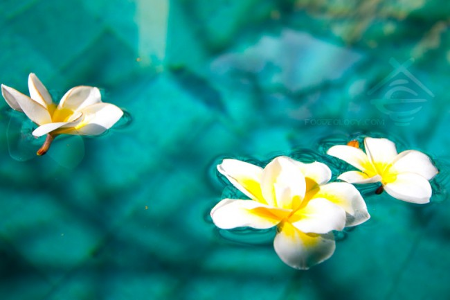 Frangipani-in-water_The-Bale