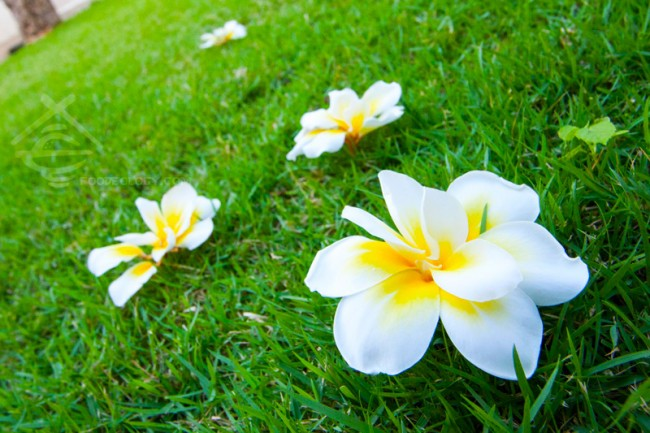 Frangipani-on-grass_The-Bale