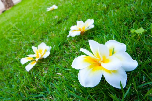 Frangipani-on-grass_The-Bale